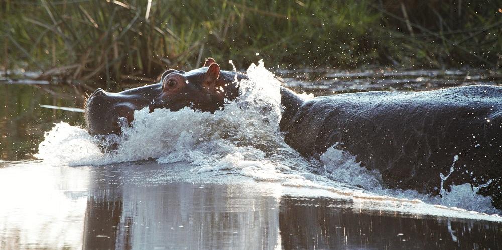 Hippo, Kwando River, Botswana