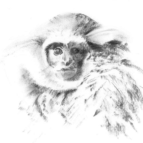Silvery Gibbon, Diginal Print Of Charcoal Sketch